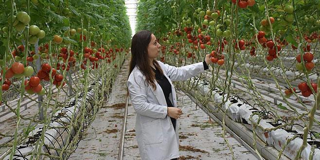 Topraksız seradan Rusya'ya domates
