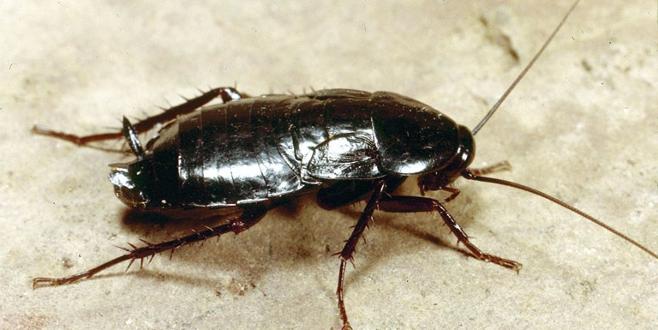 Her derde deva! Her yıl milyarlarca hamam böceği üretiyorlar