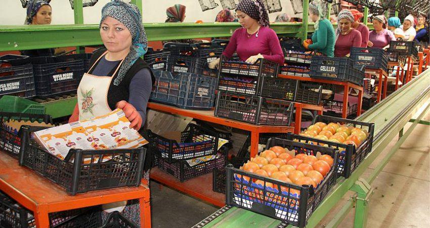 Rusya'nın kararı domates üreticisinin yüzünü güldürdü
