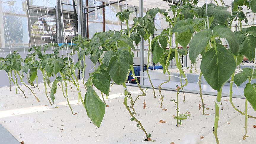 Milli patateste topraksız tarımla verim artışı sağlandı