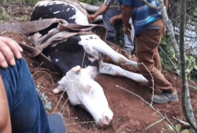 Uçuruma düşen ineği kurtarma operasyonu