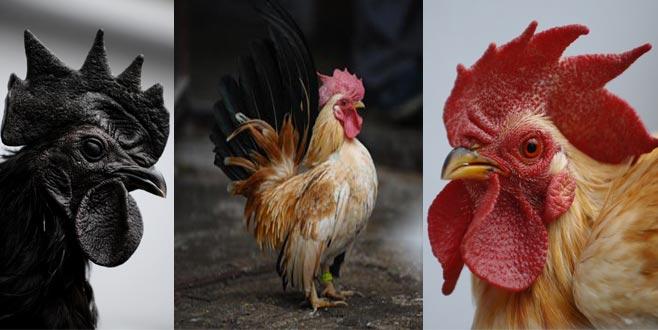Kümesten podyuma! Tavukları yarışmaya hazırlıyor