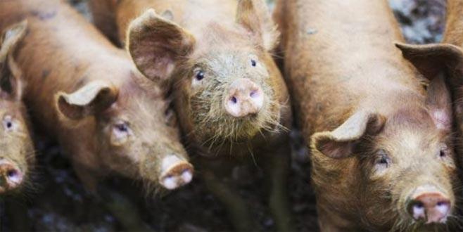 56 yaşındaki bir kişiyi 'beslediği domuzlar yedi'
