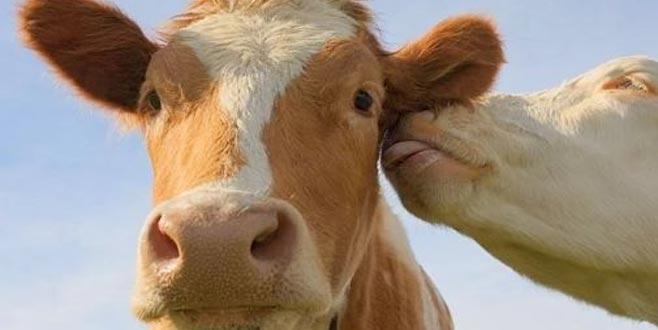 Hayalindeki ineği tanışma sitesinden buldu!
