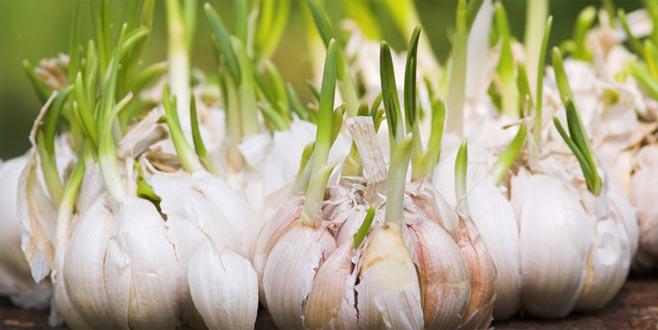 Filizlenmiş sarımsağı yemeklerde kullanmak riskli mi?