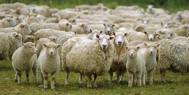 TİGEM'den satılık 9750 kuzu!