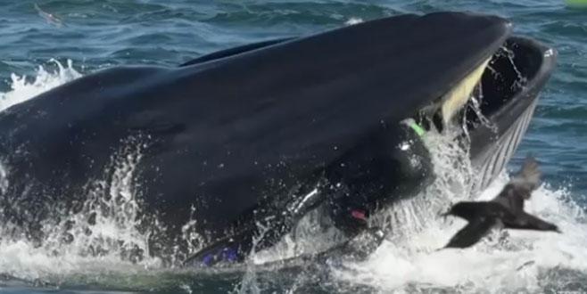 Dev balina dalgıcı yuttu, geri tükürdü