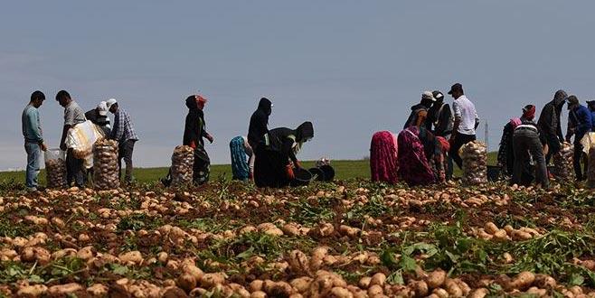Turfanda patates hasadı devam ediyor