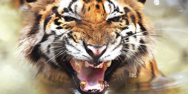 Bengal kaplanı tehdit altında