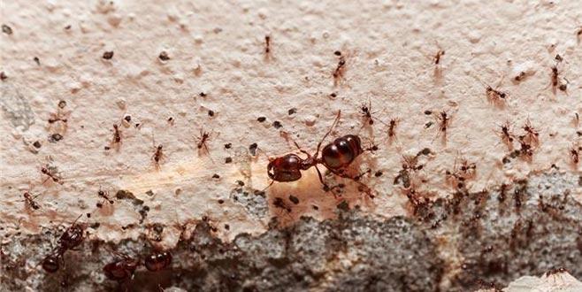 Evdeki karınca için kesin çözüm nedir?
