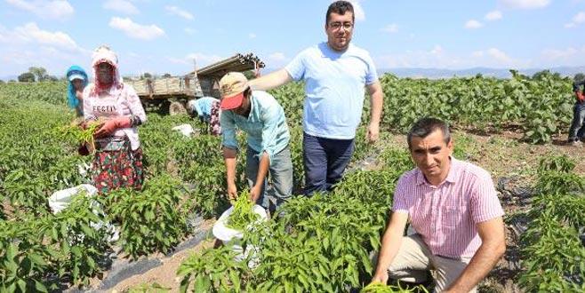 Yenişehir Ovası'nda biber hasadı başladı