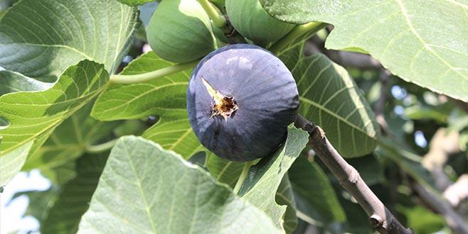 Siyah incirde ihracat başlıyor