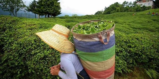 Çaydan 13,2 milyon dolar gelir