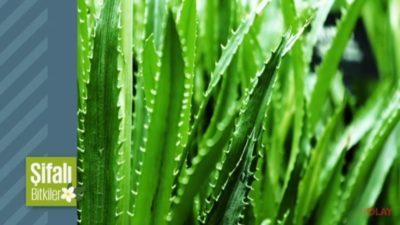 Şifali Bitki Aloe Vera