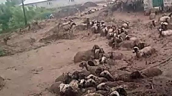 Korku dolu anlar! Onlarca koyun sele kapılarak öldü