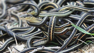 Yılanların ortaya çıkması bunun habercisiymiş!