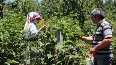 Bursa'da ahududu üreticisi mutlu
