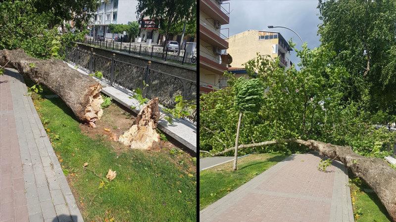 Bursa'da şiddetli rüzgar çınar ağacını devirdi