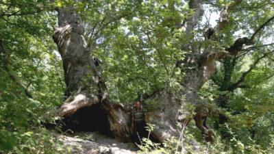 Bursa'da defineci terörü! 700 yıllık çınarı talan edip yaktılar