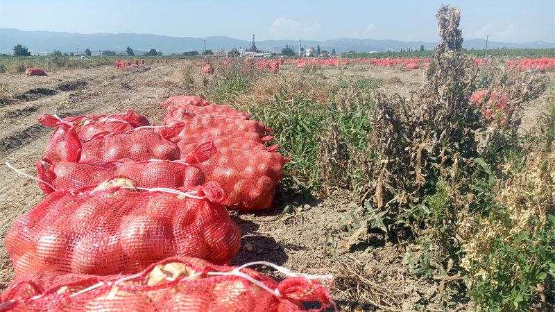 Bursa'da soğan tarlada kaldı üretici bedava dağıttı