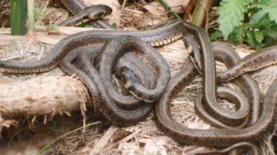 Yılanlar bu defada Uluabat Gölü'nde… Tıkla izle…