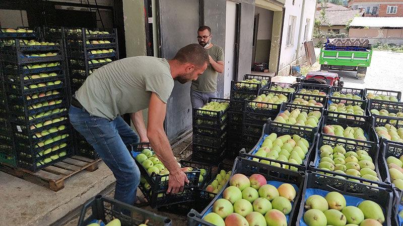Rusya'ya da ihraç ediliyor! Bursa'da hasat başladı