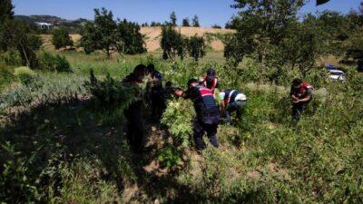 Bursa'da ormanlık alanda binlerce kök Hint keneviri ele geçirildi