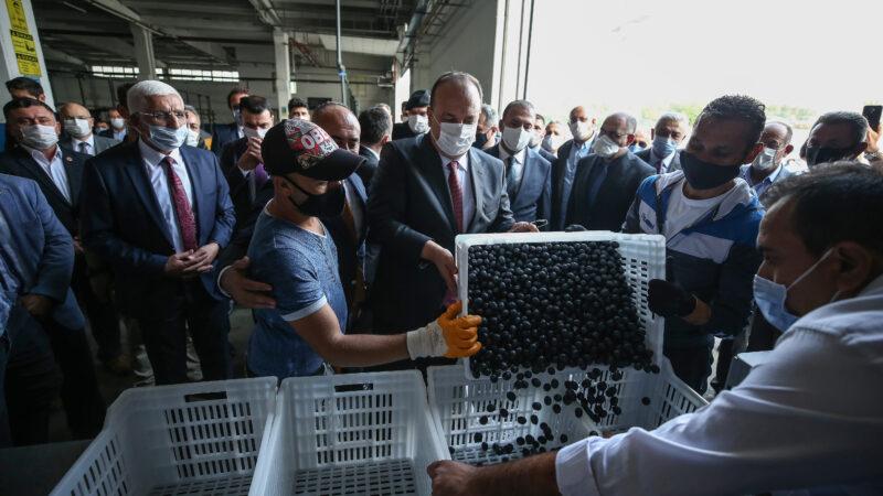 Zeytin'de 2020'nin ilk hasadı başladı