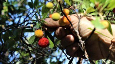 Bursa'nın ormanlarında kendiliğinden yetişiyor! Sağlığa faydası o kadar çok ki…