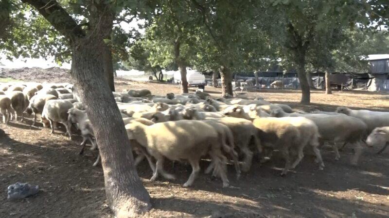 Bursa'da koyunlar telef olmuştu! İnceleme başlatıldı