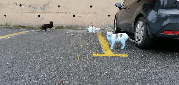 Mavi kediler görenleri şaşkına çevirdi