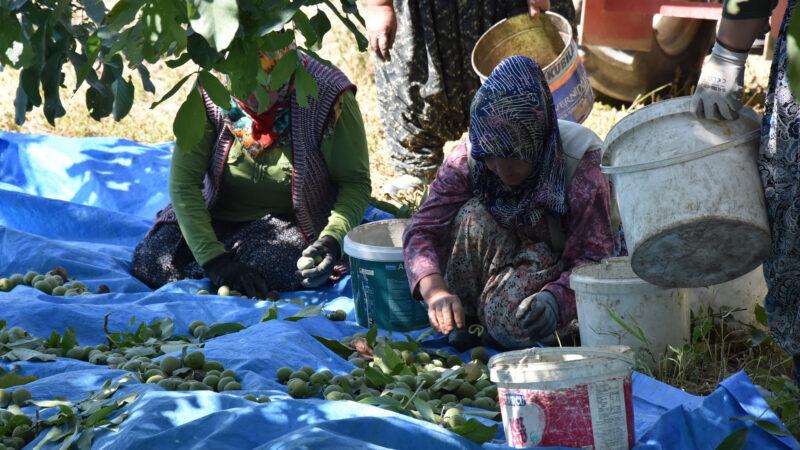Bursa'da ceviz hasadı başladı