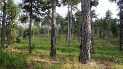 Bursa'nın ormanları böyle gençleştiriliyor