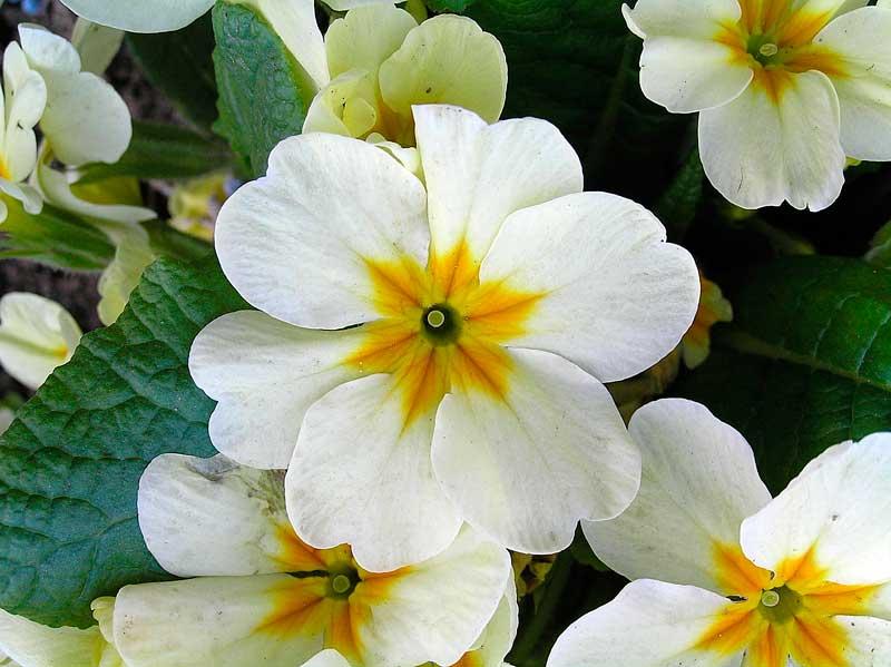 Çuha çiçeğinin ilginç sırrı…