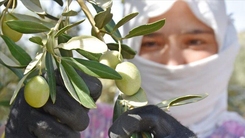 Sofralık zeytinin başkentinde hedef 'ihracatta rekor tazelemek'