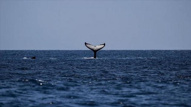 120'den fazla balina ve yunus karaya vurdu