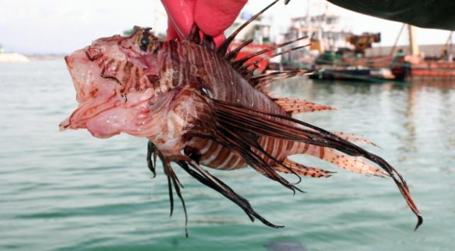 Akdeniz sahillerine yayıldı! Aslan balığı uyarısı…