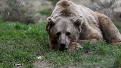 Bakım süper…71 ayıyı kış uykusu tutmadı