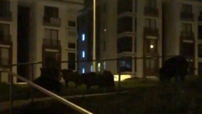 Bursa'da aç domuzlar şehire indi