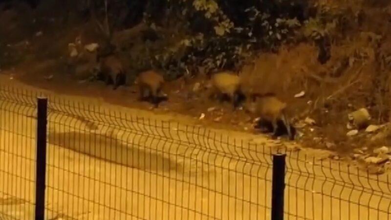 Bursa'da Mahalleyi domuzlar bastı