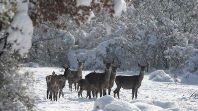 Bursa'daki kızıl geyiklere özel yem takviyesi