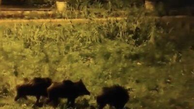 Aç kalan domuz sürüsü şehre indi! Bursalı vatandaşlar kayda aldı