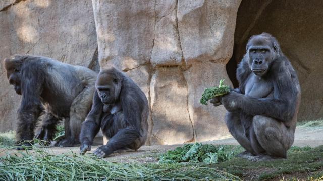 Goriller de koronavirüse yakalandı