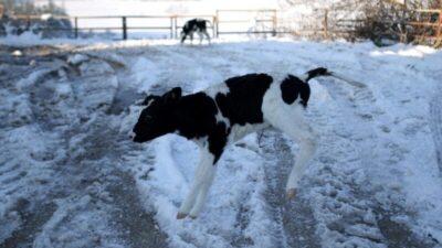 Bursa'da dünyaya gözlerini yeni açan buzağılar karla tanıştı