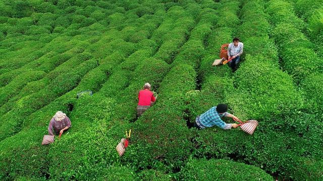 Rize çayı yaklaşık 8,9 milyon dolar kazandırdı