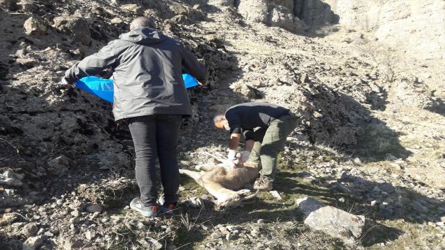 Nesli tehlike altındaki 8 yaban keçisi telef oldu
