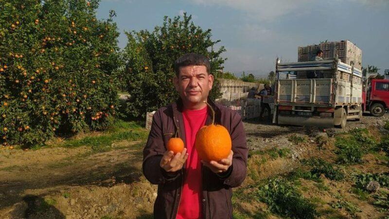 Gören şaştı kaldı! Dev portakal…