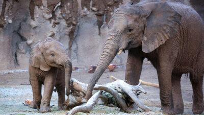Hayvanat bahçesinde dehşet… Fil, bakıcısını öldürdü!
