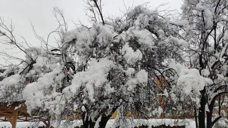 Bursa'da erken çiçek açan meyve ağaçları kar altında kaldı
