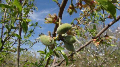 Baharın ilk meyvesi tarlada 100 lira